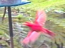 cardinal_in_flight.jpg (24771 bytes)